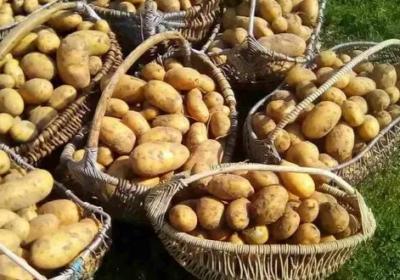 Ето как да засадите картофите за да получите двойна реколта от едри и здрави картофи
