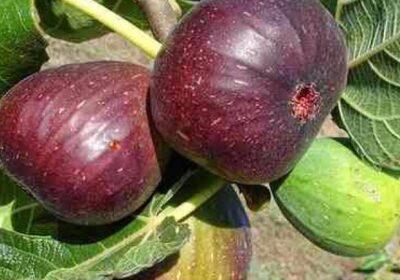 Никой не обръща внимание на листата на смокинята, а те са страшно полезни