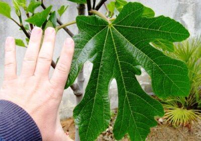 Тези листа са 100 пъти по- мощни от чесъна и джинджифила!